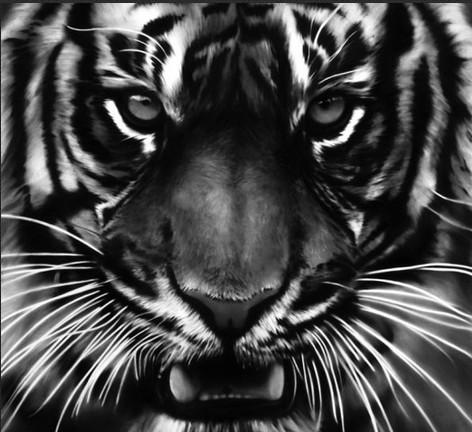 тигр фото черный